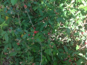 blackberry bush